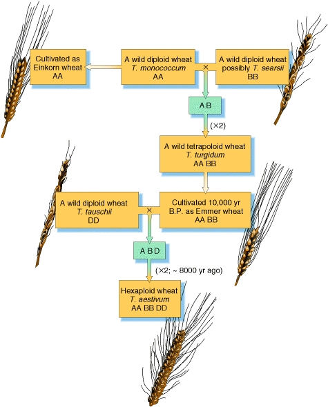 The Evolution of Wheat